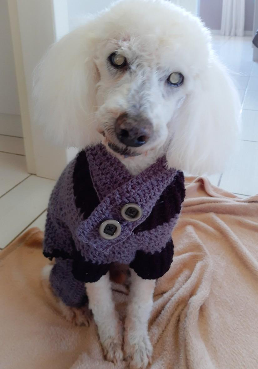 SPOT (Canino macho) Poodle C1
