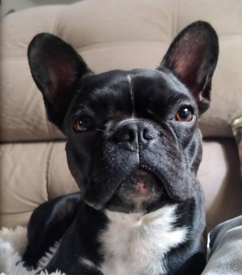 NORTENA (Canino fêmea) Bulldog francês C2