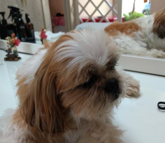 YAGO (Canino macho) Shih Tzu C3
