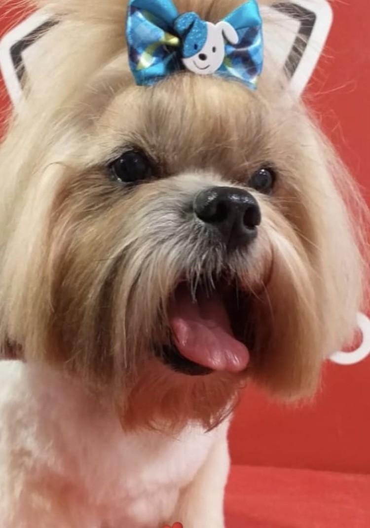 TCHUBI (Canino macho) Lhasa apso C2