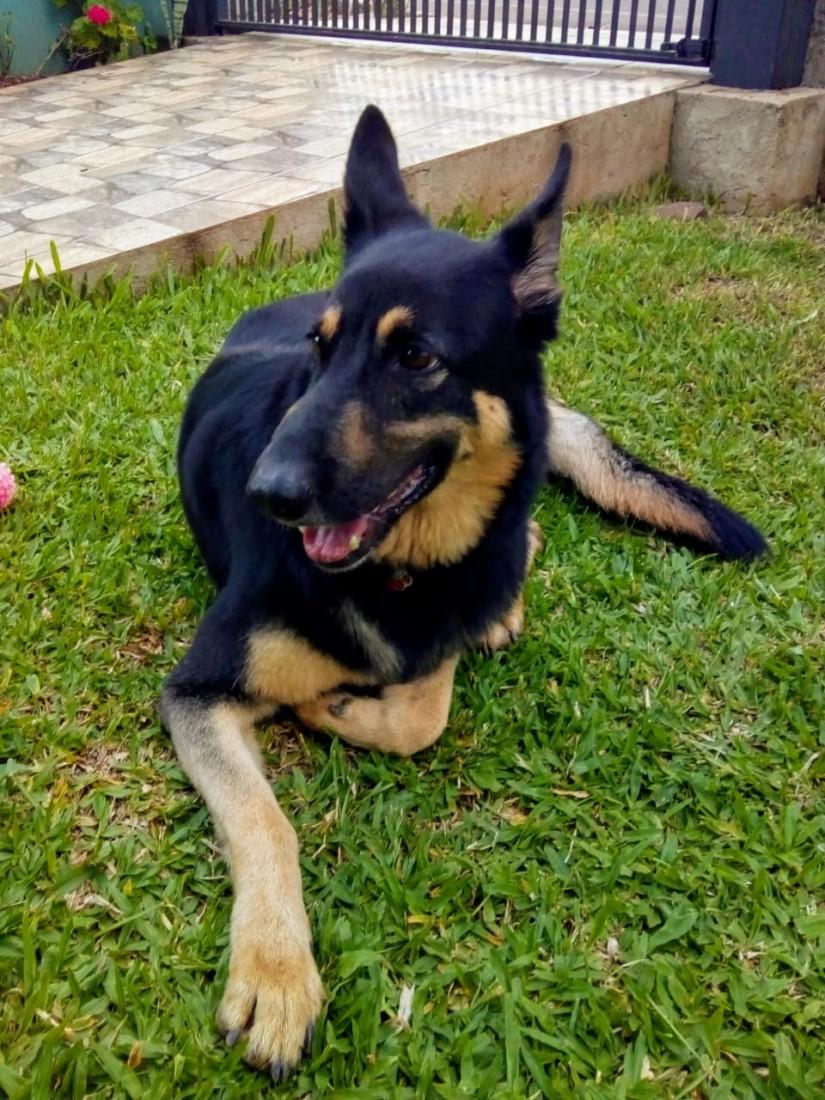 SHEEVA (Canino fêmea) Pastor Alemão C1